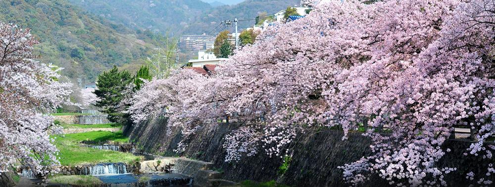 芦屋川の桜 約1,230m(徒歩16分)