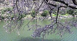 千鳥ヶ淵の桜 約1,030m(徒歩13分)